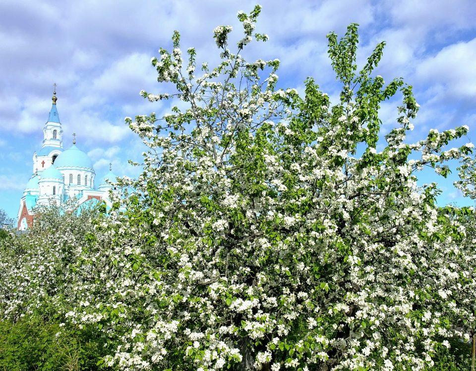 Верхний сад Валаама яблони в цвету