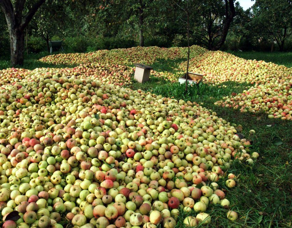 Валаамские сады урожай яблок