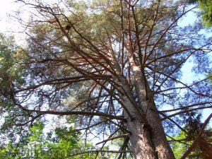 400-летняя сосна на Валааме. 2006. Фото: Я. Гайдукова.