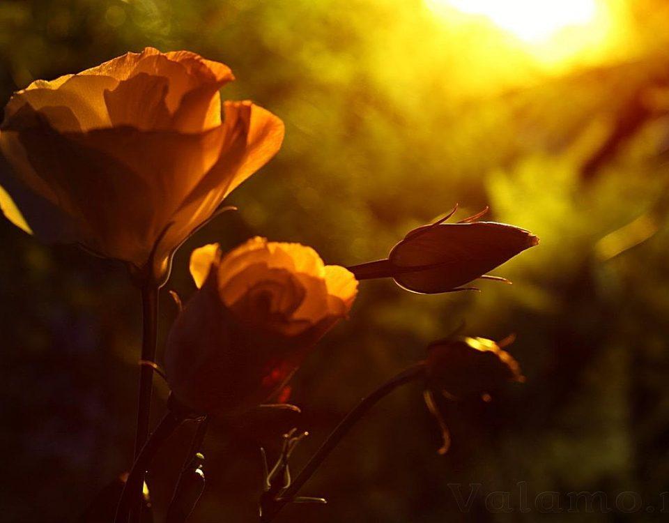 Розы на закате
