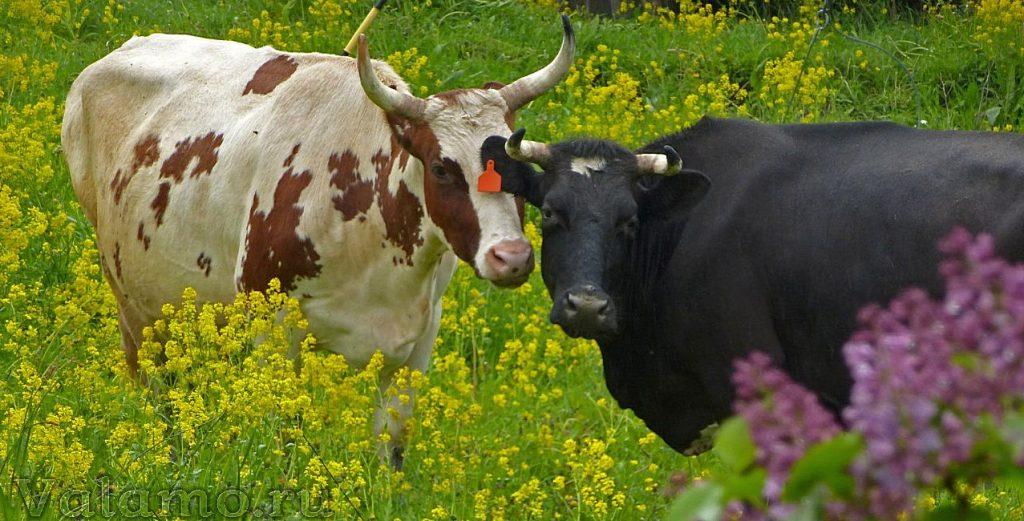 Валаам. Коровы. Фото: мон. Авраам (Щипакин)